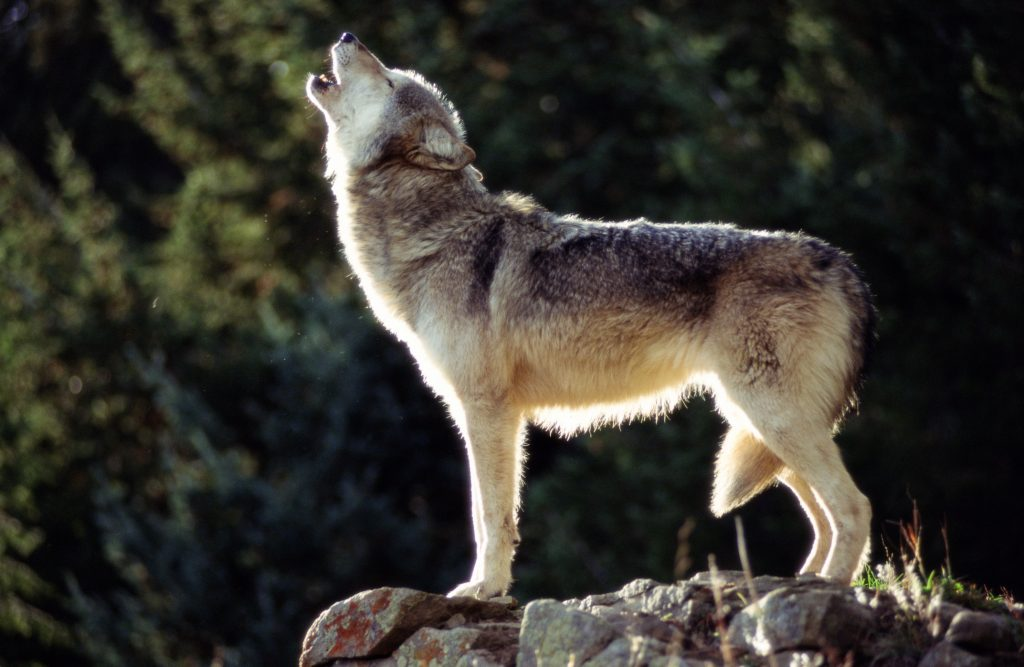 A gray wolf howls on top of a rock.