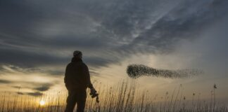 A man watches a flock of migrating starlings.
