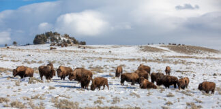 Yellowstone Bison on Blacktail Deer Plateau